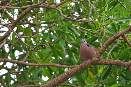 turtle dove: A Spotted dove (Spotted turtle dove) pigeon with black and white spots on collar sitting on a branch of Caribbean trumpet tree Stock Photo