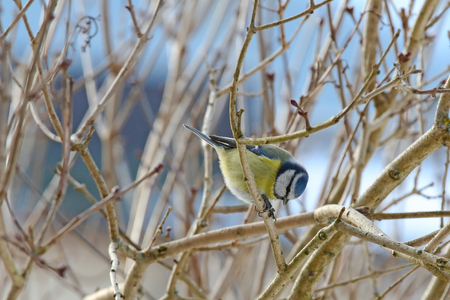 bowing: Eurasian Blue Tit bird (Parus Caeruleus) bowing on a branch with sunflower seed in between its feet