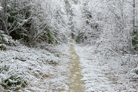 hoarfrost: Trees covered with hoarfrost rime ice along the forest path, beautiful winter scene