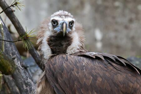 a large bird of prey: Closeup headshot of the Cinereous vulture raptorial bird, black vulture, (Aegypius monachus). A large bird of prey.