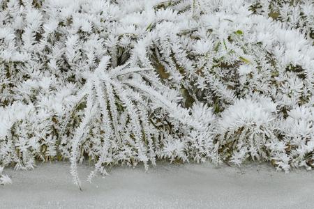 hoarfrost: Hoarfrost rime ice on twigs of grass along frozen stream, beautiful winter scene