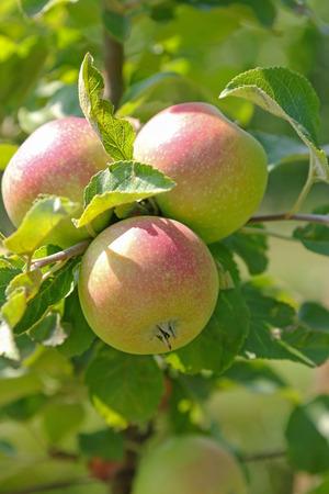 albero di mele: Primo piano di albero di mela biologica con frutta al frutteto in Austria, Europa. Archivio Fotografico