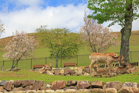 unharmed: A group of deer chilling at Nara Park in freedom during spring in Japan