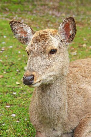 unharmed: Closeup head shot of a deer at Nara Park in Japan