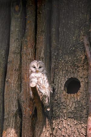 ural owl: An Ural Owl Strix uralensis perching on wooden tree branch