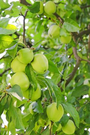 manzana verde: Primer del árbol de manzana verde orgánico con la fruta en el huerto en Austria, Europa. Foto de archivo