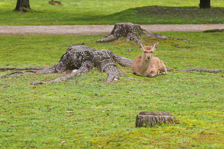 deforested: A deer resting on fresh green grass next to cut-down tree Stock Photo