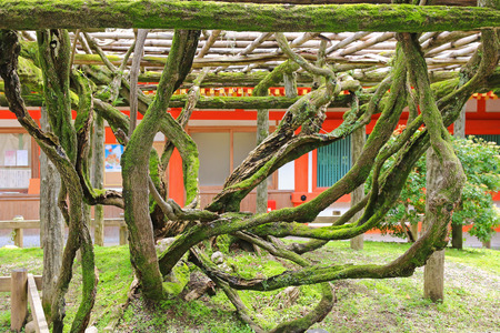 arbor: Trunks of Wisteria floribunda tree Japanese wisteria  covered with moss climbing on arbor in Nara, Japan. The age of the tree is said to be 800 years