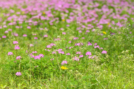red clover: Soft focus of green meadow field full of pink red clover flowers Trifolium pratense during spring in Japan