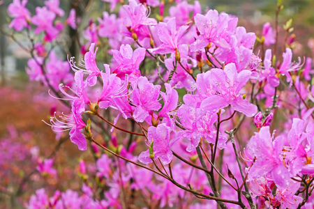 azaleas: Soft focus of beautiful wet Azaleas blossoming at Tenpaku Park in Nagiso, Nagano during Spring in Japan