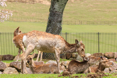 unharmed: A group of deer enjoying at Nara Park in freedom during spring in Japan