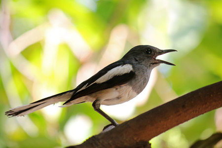 Oriental Magpie Robin bird Copsychus saularis  with black and white body perching on a branch
