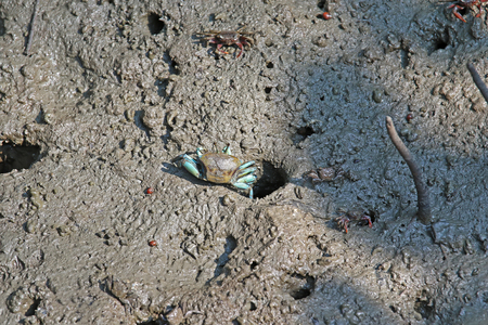 fiddler: Female Fiddler crab with blue legs coming out from a hole on wet muddy land in mangrove forest, Thailand Stock Photo