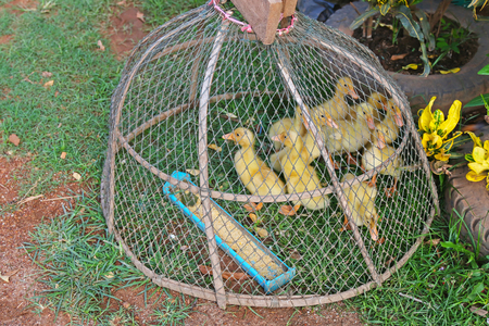 henhouse: A group of small cute yellow ducks babies being captured in a coop with food provided