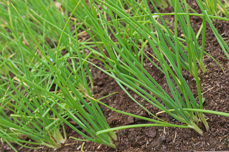 home grown: Soft focus of home grown green spring onion growing in soil ready to harvest Stock Photo