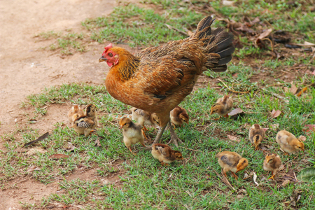 free range: A group of small cute free - range chicks babies walking close to the brown hen