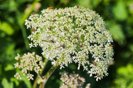 europe closeup: Closeup of insects on Cow Parsley flower (Anthriscus sylvestris) during summer in Europe