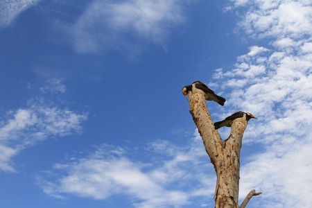 Asian Pied myna starling birds (Gracupica contra) perching on dried tree during summer in Thailand