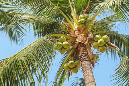 albero da frutto: Primo piano di dolce palma di cocco con tanti giovani di frutta sul cielo blu