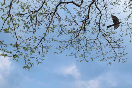 cuckoo: Branches of big Rain tree against blue sky with female Asian Koel cuckoo bird flying around in Thailand