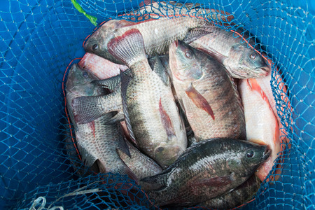 nile tilapia: Blue plastic bucket full of raw fresh freshwater fish, Tilapia and Nile tilapia ( known as Mango fish, Nilotica) with blue fishing net to prevent the escape