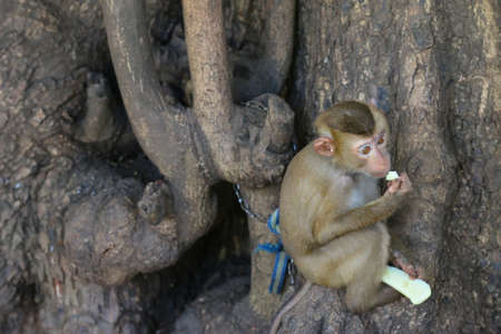 nibbling: Cute little monkey being chained to old big tree holding and nibbling a piece of fresh green mango