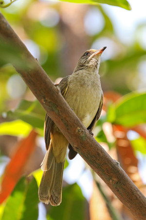gray eyes: Streak-eared bulbul bird perching on tree branch in the garden during the summer in Thailand, Asia. They have brownish feathers, whitish streaked ears with pale gray eyes.
