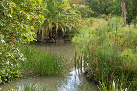 no rush: Common Spike rush, Cyperus papyrus, pickerelweed, and other aquatic plants growing in water in the garden, pond area in Australia Stock Photo