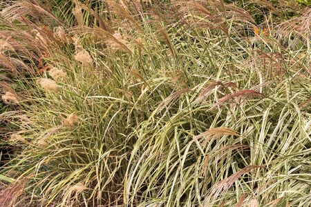 ornamental garden: Closeup of ornamental grass, Miscanthus sinensis, Chinese Silver grass growing in the garden in Australia