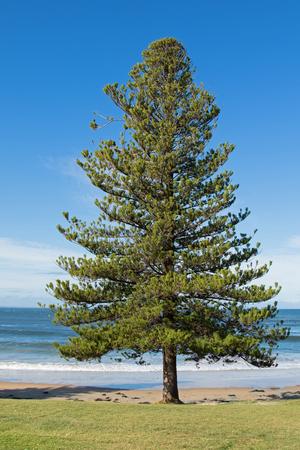 arbol de pino: Isla Norfolk árbol de pino que crece en la orilla del mar en la playa de surf de Torquay, un municipio en Victoria, Australia