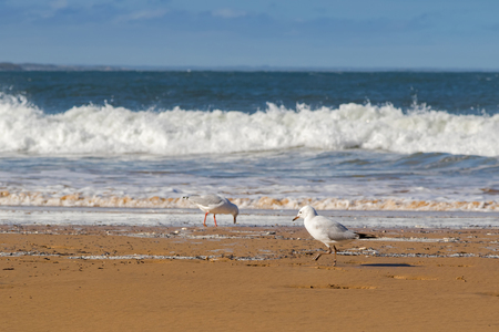 seabird: Young Silver Gull seabird walking along the beach in the afternoon with blurred wave and sea background, focus of the front gull Stock Photo