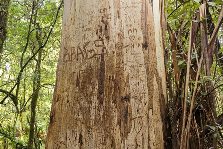 bark carving: Love messages, heart symbols, names, initials of lovers engraved on big tree trunk at Otway national park, Victoria, Australia