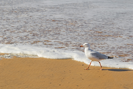 seabird: Silver Gull seabird walking along the beach in the afternoon with blurred wave and sea background