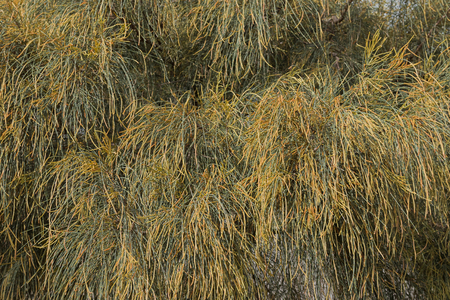 she: Closeup texture details of Black she oak trees, also called  river black oak during Autumn in Australia