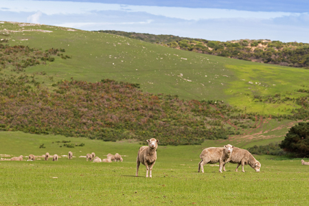 pastures: A flock of sheep grazing on the open green meadows during Autumn in Australia