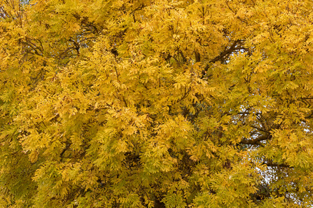 ash tree: Closeup of deciduous Ash tree (Fraxinus) with leaves turning to yellow Autumn shade in Australia