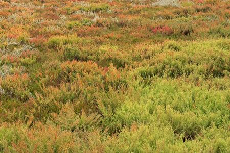 salt marsh: The area full of colorful Suaeda (Austral Seablite) , Common Glasswort, Salt meadow, Salt tolerant plants growing in salt marsh in Victoria, Australia