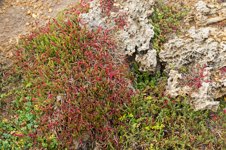 salt marsh: Closeup of Beaded Glasswort, salt marsh plant, growing on coastal sea cliff in Victoria, Australia