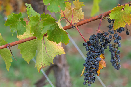 ripened: Closeup of very ripened mature wine grapes growing on limestone coast in Coonawarra winery, during Autumn in Australia