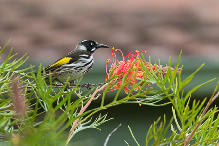 pollinators: Closeup of New Holland Honeyeater bird (Phylidonyris novaehollandiae) perching on a branch of Grevillea spider flower in Australia Stock Photo
