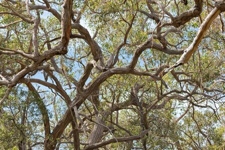 stoney point: Many branches of stringybark, Eucalyptus growing in the forest in Naracoorte, limestone coast region of South Australia