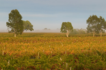 terroir: Foggy view of vineyard in the morning. These wine grapes are growing on limestone coast in Coonawarra winery region during Autumn in South Australia Stock Photo