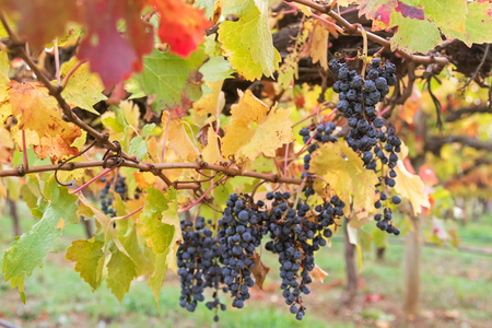 ripened: Selective focus of very ripened mature wine grapes growing on limestone coast in Coonawarra winery, during Autumn in Australia