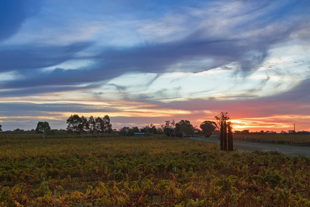 Sunset view of vineyard in the evening. These wine grapes are growing on limestone coast in Coonawarra winery region during Autumn in South Australia