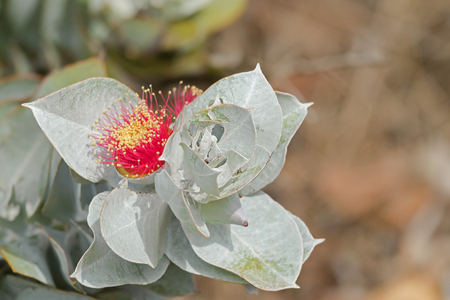 powdery: Closeup photo of Mottlecah (Eucalyptus macrocarpa) flower in red with silver grey leaves in Autumn, South Australia Stock Photo