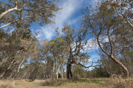 stoney point: Branches of big gum trees, Eucalyptus, against blue sky at Naracoorte forest during Autumn season in South Australia