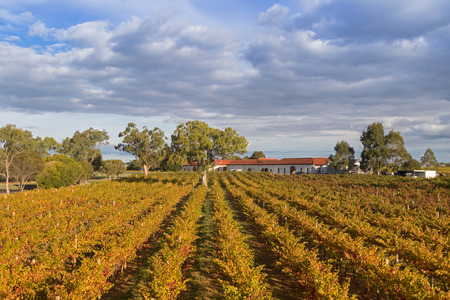 Landscape view of vineyard in the afternoon. These wine grapes are growing on limestone coast in Coonawarra winery region during Autumn in South Australia Stock Photo