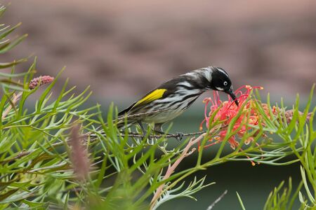 pollinators: Closeup of New Holland Honeyeater bird (Phylidonyris novaehollandiae) feeding on a branch of Grevillea spider flower in Australia