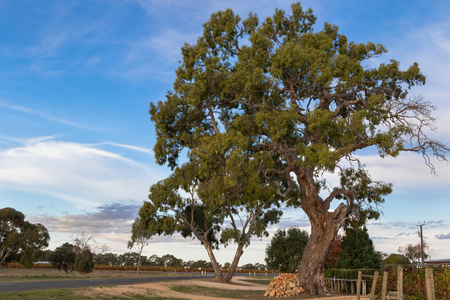terroir: Many big gum trees growing along the vineyard street in Coonawarra winery region in the evening during Autumn in South Australia Stock Photo