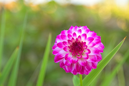pompon: Home grown Pompon Dahlia flowers in white color marked with reddish purple magenta edge blooming in the garden